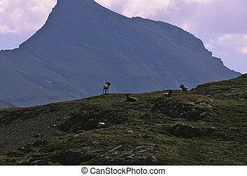 a group of bighorn rams on a mountain ridge