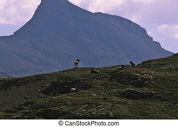 Bighorn Rams - a group of bighorn rams on a mountain ridge