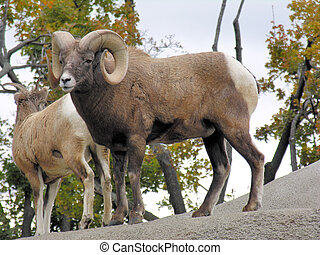 Bighorn Sheep - A pair of big horn sheep perched on a rock.