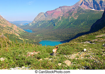 Bighorn Sheep at Grinnell Lake