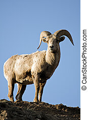 bighorn sheep atop cliff - bighorn sheep (Ovis canadensis)...