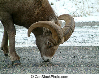 bighorn sheep - Bighorn sheep in Kananaskis, Canada.