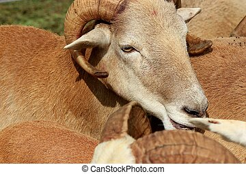 Bighorn sheep - brown - A pen filled with brown and white...
