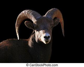 bighorn sheep - canada, bc