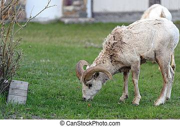 bighorn sheep close view