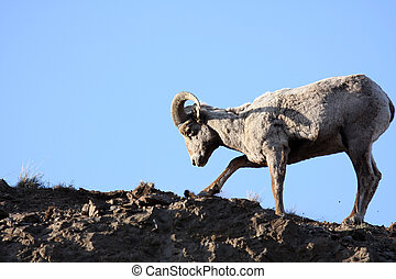bighorn sheep digging up roots atop a cliff. Late sun, ...