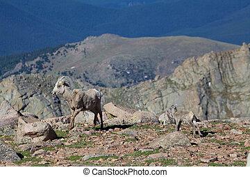 Bighorn Sheep Ewe and Lamb