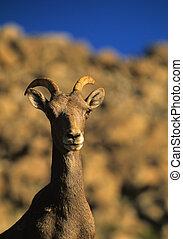 Bighorn Sheep Ewe Portrait