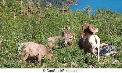 Bighorn Sheep Glacier National Park