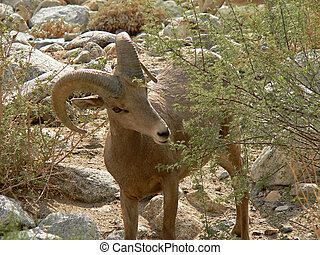 Bighorn Sheep Grazing - A bighorn sheep grazes on a shrub in...