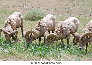Bighorn Sheep Grazing