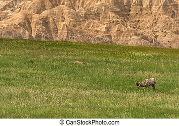 Bighorn Sheep Grazing in Field Below Badlands with Copy Space