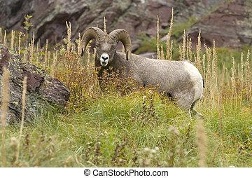 Bighorn Sheep Grazing on Bear Grass