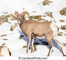 Bighorn Sheep - Grazing on the Hill.
