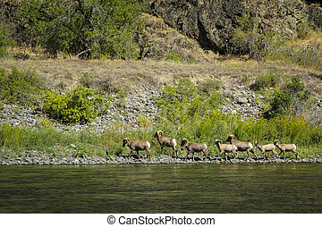 Bighorn sheep, Hells Canyon, Idaho - Heard of bighorn sheep...