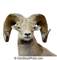 bighorn sheep isolated over a white background