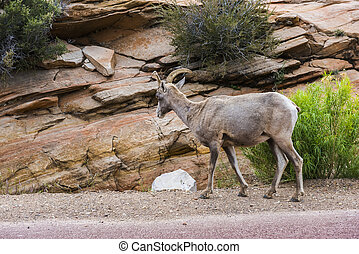 Bighorn sheep (Ovis canadensis canadensis) in Zion national...