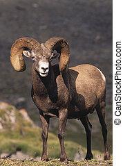 Bighorn Sheep Ram - a majestic full curl bighorn sheep ram