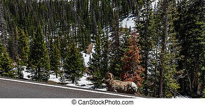 Bighorn Sheep Ram at Rocky Mountain National Park