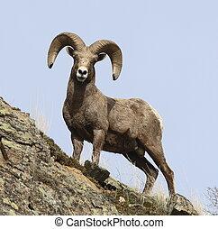 Bighorn sheep (Ram) - Bighorn sheep Ram on rocky outlook