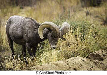 Bighorn Sheep Ram Grazes in Joshua Tree National Park