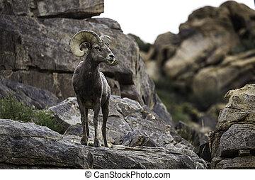 Bighorn Sheep Ram in Joshua Tree National Park