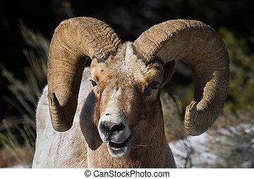 bighorn sheep ram portrait smiling
