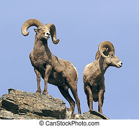 Bighorn sheep Rams on rocky outlook