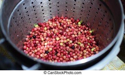 Bignay, Antidesma bunius home wine processing tossing into...