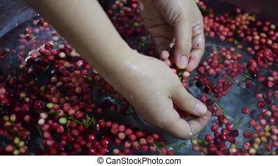 Bignay fruit, Antidesma bunius home wine processing removing...