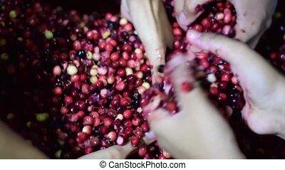 Bignay fruits home wine processing hand mashing and crushing...