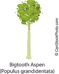 Bigtooth aspen icon, flat style - Bigtooth aspen icon. Flat ...