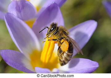 bij, het verzamelen, nectar, op, paarse , krokus, bloem