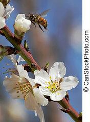 bij, het verzamelen van stuifmeel, van, amandel, flowers.