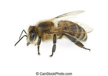 bij, honing