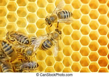 bijtjes, arbeider, honingraat
