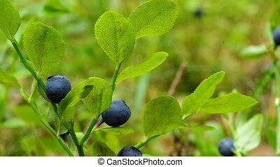 Bilberry berries in growing in wood