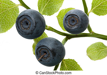 Bilberry branch - Juicy berries of a bilberry on a branch...