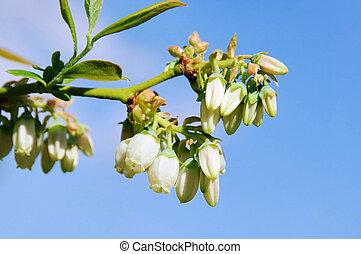 Bilberry flower 03