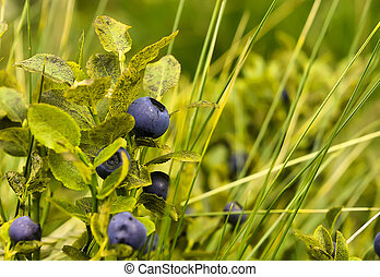 Bilberry - Ripe bilberry on the  branches in the grass