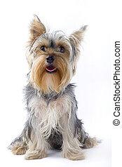 bild, junger hund, terrier, gesetzt, yorkshire