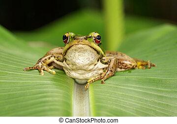 bild, leaf., frosch, oder, feld, amphibian., grün,...