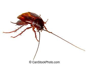 bild, plage, insekt, küchenschabe, krabbelnd