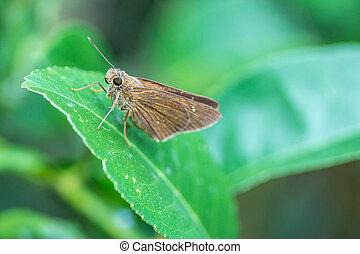 bild, von, a, brauner, papillon, in, asia, gleichfalls, auf, grünes blatt, vorgewählter fokus