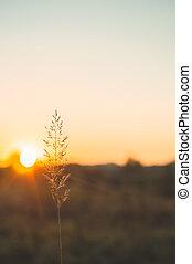 bild, von, brauner, gras, blume, feld, mit, bokeh, und, sonnenuntergang, licht, hintergrund., goldenes, gras, blume, image.