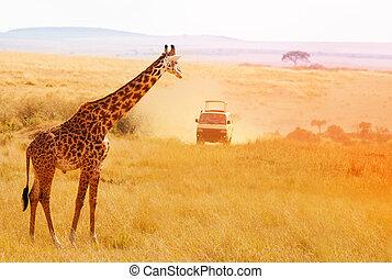 bild, von, schöne , giraffe, an, sonnenuntergang, afrikas