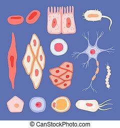 bilder, menschliche , zellen, szenen, wohnung, blut, cells., vektor, biologisch, sammlung, struktur, lymphozyt