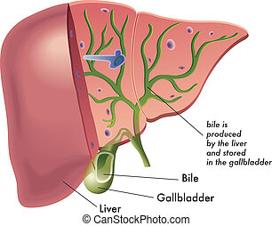 Bile - medical illustration that represents the production...