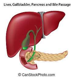 Bile passges, non- labeled version - Liver, gallbladder, ...