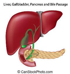 Bile passges,non- labeled version - Liver, gallbladder,...